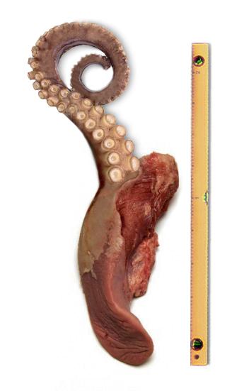 Гигантская мышца языка, материали- _зовавшаяся во время эксперимента № 3