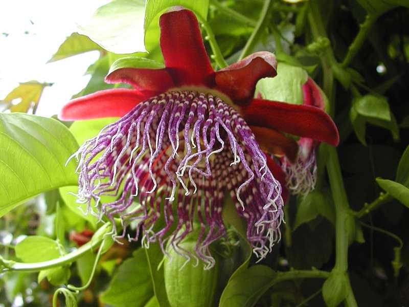 Фенотипический стебель и цветок SCP-1621