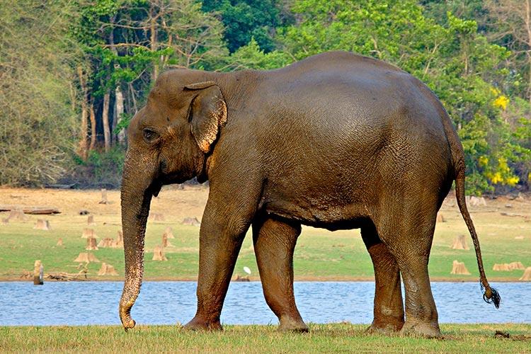 Индийский слон на берегу пруда в SCP-2683